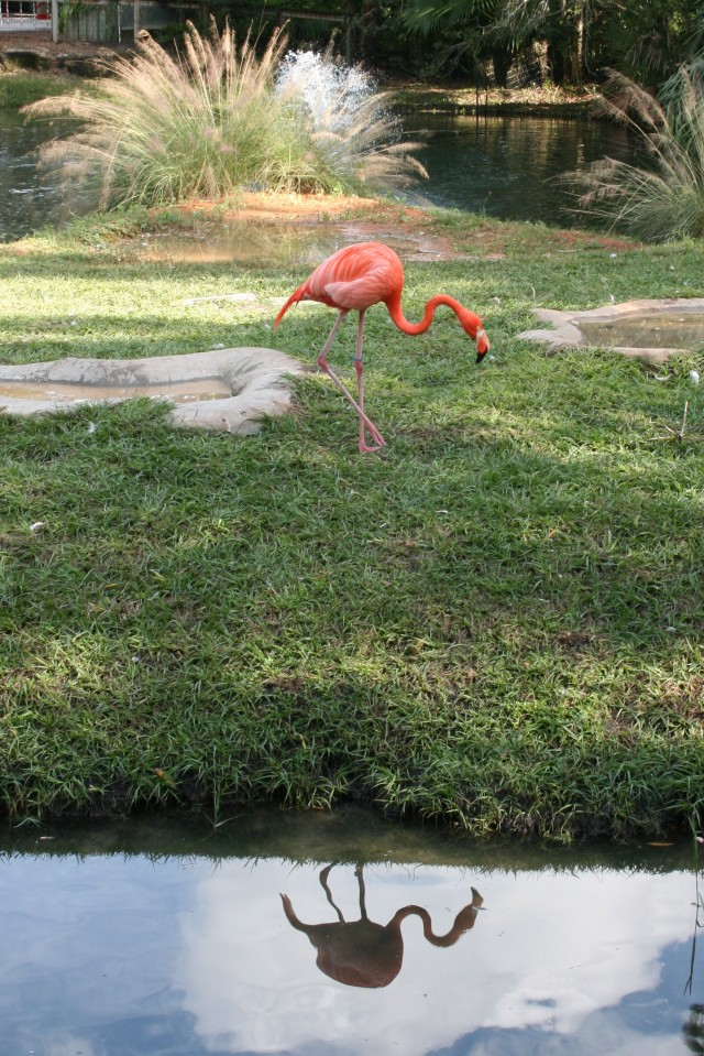 Brevard Zoo Flamingo
